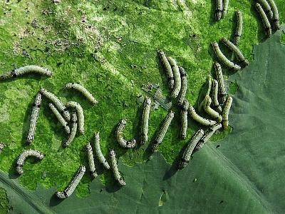 野菜類を食害するチョウ目害虫
